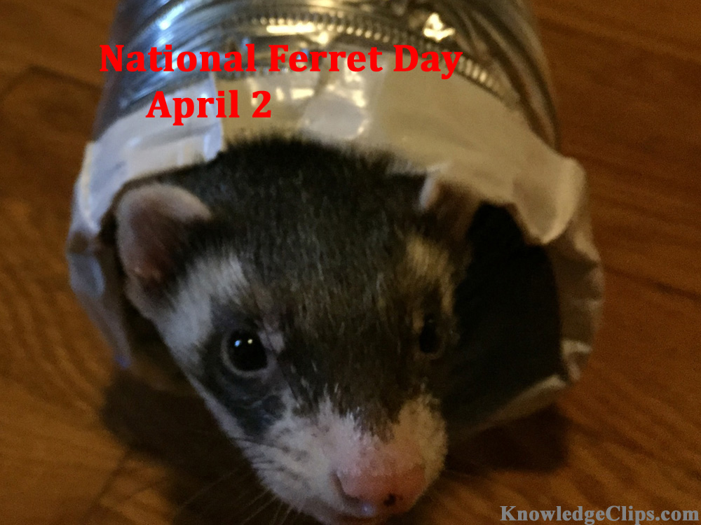 National Ferret Day - April 2