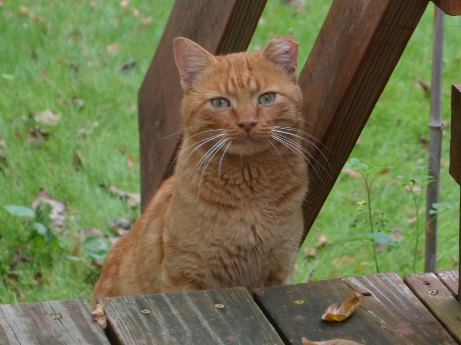 Feral cat with a tipped ear
