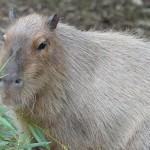 Capybara image