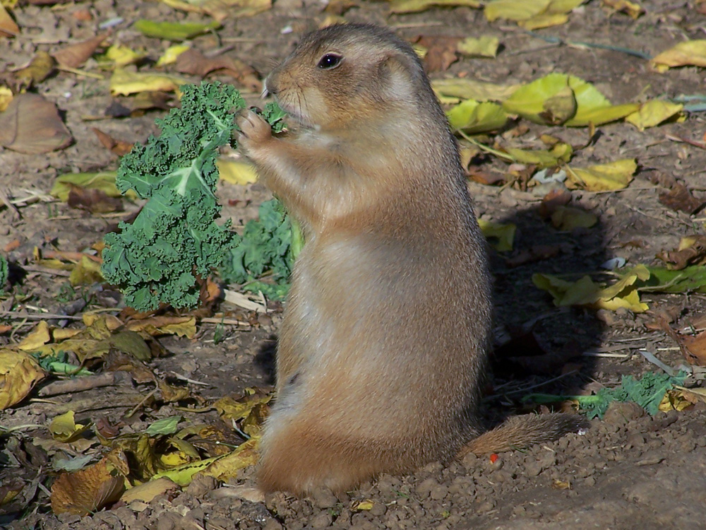 Black-Tailed Prairie Dog image