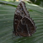 National Learn About Butterflies Day - Blue Morpho