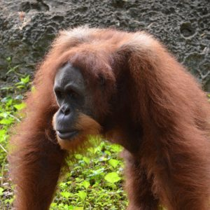 World Orangutan Day