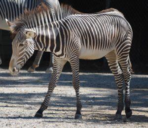 International Zebra Day - January 31