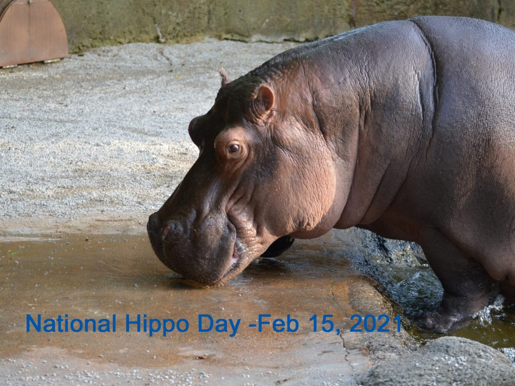 National Hippo Day 2021