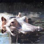 National Hippo Day February 15